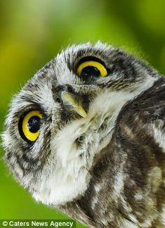 The owl has