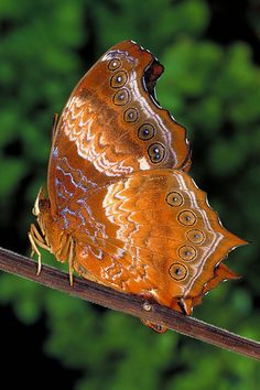 Mariposa Rhinopalpa Polynice