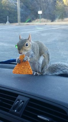 """-submissive-wolf-: """"Oh…you know…. just a squirrel eating a dorito. """""""