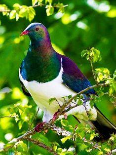 New Zealand Wood Pigeon or Kererū (Hemiphaga novaeseelandiae) - endemic to New Zealand. All Birds, Cute Birds, Pretty Birds, Beautiful Birds, Animals Beautiful, Cute Animals, Exotic Birds, Colorful Birds, Wood Pigeon
