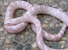 Corn Snake - Amel Cinder Morph