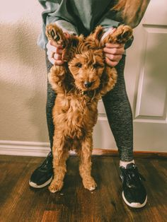 Mini red goldendoodle puppy Really Cute Puppies, Cute Dogs And Puppies, Baby Puppies, Doggies, Cute Baby Animals, Animals And Pets, Mini Goldendoodle Puppies, Doodle Dog, Cute Dog Pictures