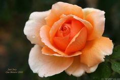 'Just Joey' hybrid tea rose. Strong fragrance, ruffled blooms. Zones 7 - 10, requires food fertilization. A great rose!
