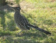 Roadrunner at Estrella Mountain Regional Park, located in the Southwest Valley of the Greater Phoenix area.