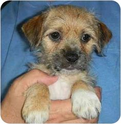 Border+Terrier+Mix+Puppies | Border Terrier/Chihuahua Mix Puppy for adoption in Wimberley, Texas ...