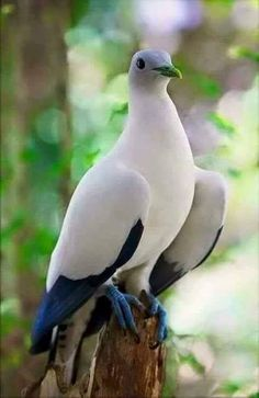 Pied Imperial Pigeon (Ducula bicolor) - from Myanmar & Thailand, throughout Indonesia and east to Philippines & Bird's Head Peninsula in New Guinea Kinds Of Birds, All Birds, Cute Birds, Pretty Birds, Beautiful Birds, Animals Beautiful, Exotic Birds, Colorful Birds, Animals And Pets