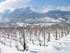 Fresh snow on the Chignin vineyards - view to Mont Granier, Savoie, France