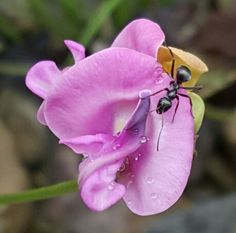 Nectar and morning dew,this ant has a great start to it's day.