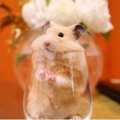 懐かしのナッパw 去年のクリスマスシーズンではグラスに入ってました グラスのふちにチューしててカワイイ * * #ナッパ#nappa#ゴールデンハムスター#ハムスター#キンクマ#小動物#かわいい#ふわもこ部#癒し#펫스타그램#life#instacute#instapet#family#goldenhamster#syrianhamster#hamster#hammy#happy_pets#倉鼠#petscorner#pet#bestanimal#animal#adorable#awww#love#socute#cute#ALICEY