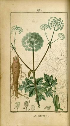flore medicale - flore medicale - angelique angelique des jardins - Gravures, illustrations, dessins, images