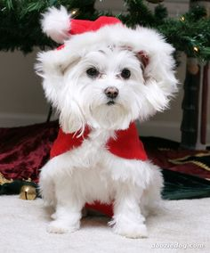 Google Image Result for http://www.dooziedog.com/dog_breeds/images/full/Maltese-12.jpg