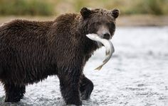 A Grizzly Bear catches a salmon in the Great Bear Rainforest. The Harper government is planning to gut the powers in federal legislation intended to protect fish habitat, making it easier for projects like Calgary-based Enbridge Inc.'s Northern Gateway pipeline to B.C. to clear federal hurdles, according to a retired fisheries biologist who obtained the information from a government source.