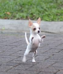 Effective Potty Training Chihuahua Consistency Is Key Ideas. Brilliant Potty Training Chihuahua Consistency Is Key Ideas. Cute Chihuahua, Cute Puppies, Cute Dogs, Dogs And Puppies, Teacup Chihuahua Puppies, Baby Dogs, Little Dogs, Cute Baby Animals, Doge