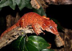 Gargoyle Gecko - Huell(f)