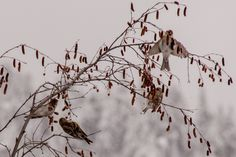 Bevy of Common Redpolls (finch family) devouring berries. Centennial Trail, Lake Coeur d' Alene. January 2016.