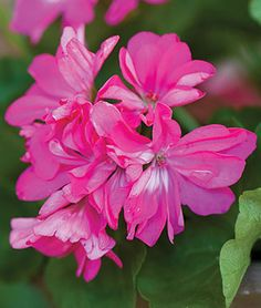 Stardom Pink Geranium Seeds and Plants - Annual Flowers at Burpee.com