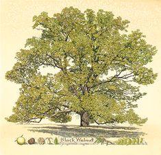 Walnut Tree by Kristin Hurlin @ glenarborartisans.com