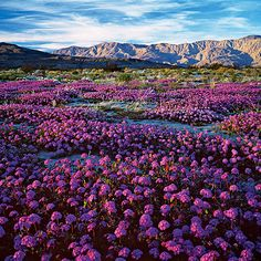 Southern California's desert glory - Sunset Magic carpet: Purple blooms of desert sand verbena sweep across Anza-Borrego's valley.