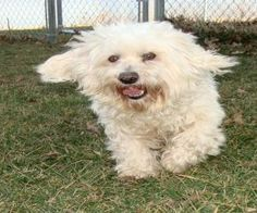 OSCAR is an adoptable Maltese Dog in Linton, IN. Oscar is an older adult (6-7 YO) who has been abandoned by his owner. We don't know why, he is very obedient, and self sufficient. He will require some...