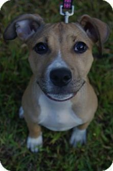 Pin By Christie Dual On Dogz American Pitbull Terrier Puppy Adoption Pitbull Puppies
