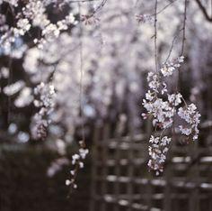 糸桜 - droopy-branch cherry tree