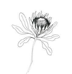protea line drawing - tattoo image Flower Line Drawings, Botanical Line Drawing, Floral Drawing, Botanical Art, Art Drawings, Protea Art, Protea Flower, Illustration Sketches, Floral Illustrations