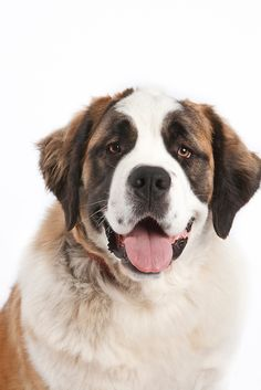 Chien Saint Bernard, St Bernard Puppy, Baby Puppies, Dogs And Puppies, Animals And Pets, Cute Animals, Nanny Dog, Samoyed Dogs, Mountain Dogs
