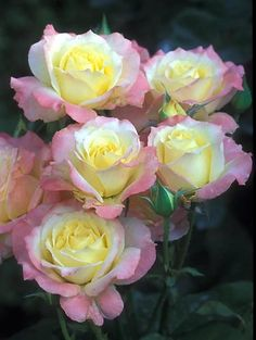 'Summer Fashion' Floribunda Rose