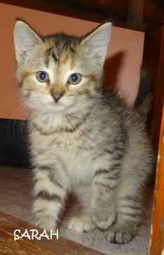 UPDATE-ADOPTED! AVAILABLE 6/20! STRAYS Tag# 345 Litter of 4 kittens  Name is Sarah  Tiger  Female  Approx. 7 weeks   https://www.facebook.com/photo.php?fbid=655767111160778set=a.655766414494181.1073742017.267166810020812type=3theater