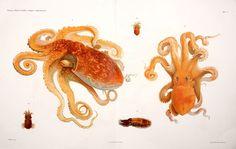 Cefalopodi viventi nel Golfo di Napoli (sistematica). Berlin :R. Friedländer & Sohn,1896. biodiversitylibrary