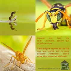 Etymologie ; #insectes #InsectHotel #insecte #nature #biologie #animal #animaux #biodiversité #biodiversity #faune #wildlife