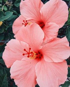20 Salmon Pink Hibiscus Seeds Giant Dinner Plate Fresh Flower Garden Exotic Hardy Flowering Perennial Tropical Plumeria Container Patio Seed - s u m m e r a n y t h i n g - Flowers Tropical Flowers, Hibiscus Flowers, Exotic Flowers, Tropical Plants, Pretty Flowers, Fresh Flowers, Pink Flowers, Hawaiian Flowers, Lilies Flowers