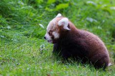 New red panda cub at Dublin Zoo
