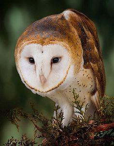 Barn Owl / Debra S. Dorothy                              …