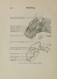 Archive Org, Molar Tooth, Animal Anatomy, Safe For Work, Anatomy Reference, Teacher, Student, Model, Professor