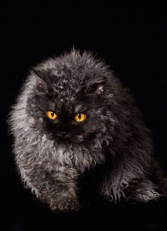 Curly Haired Cat, Curly Cat, Cat Images Hd, Funny Cat Images, Funny Cats, Cat Pictures For Kids, Cute Cats Photos, Pretty Cats, Beautiful Cats