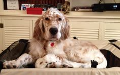 The growing English Setter puppy prefers to be on top of the crate than in it. Now if he would just not eat the carpets!