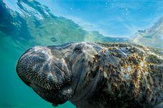 Grudado de algas, o peixe-boi marinho nada pelo mar