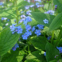 Brunnera macrophylla (kaukasische vergeet-mij-nietje)