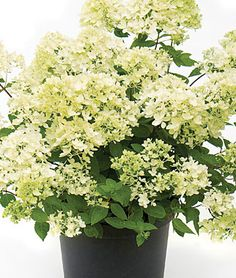 Bombshell's name reflects the way the dwarf bush explodes from summer to fall, with more flowers per plant than any other Hydrangea paniculata. Blossoms are complemented by the medium green foliage. Thrives in sun or shade and is great for smaller gardens.
