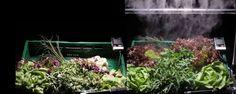 Supermarkt Plus van Gurp in Roosendaal houdt groente en fruit in de gehele logistieke keten voortaan langer vers door de producten direct na de oogst onder een mistinstallatie te plaatsen. Dat moet voedselverspilling tegengaan.