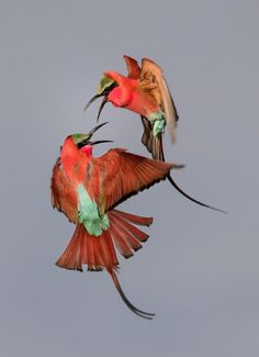 Southern Carmine Bee-eaters (Merops nubicoides) in South Luangwa, Zambia. Photo: Zachary Webster/Audubon Photography Awards 2017.