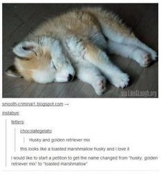 A husky golden retriever mix