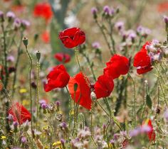 My favorite poppies - photo by Laura Pattison Lest we Forget the First World War  | Flickr - Photo Sharing!