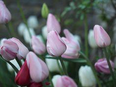 Husk å plante blomsterløk nå for neste års vårblomstring. Rose, Flowers, Plant, Pink, Roses, Royal Icing Flowers, Floral, Florals, Flower