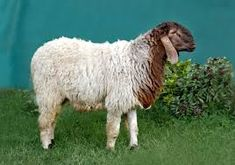 patanwadi sheep breed and where it is found - Google Search Sheep Breeds, Google Search, Animals, Animales, Animaux, Animal, Animais