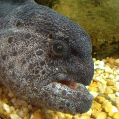 wolf fish - such a pretty face!