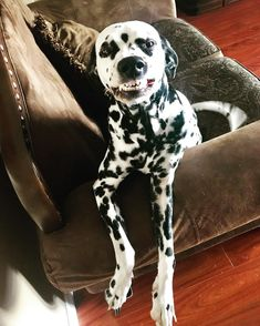 14 Lovely Things About Dalmatians I Like Dogs, Cute Dogs And Puppies, Funny Animals, Cute Animals, Labrador Dogs, Dalmatian Dogs, Lovely Things, Roxy, Puppy Love