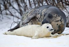 Momma and Baby Seal ♥ they are still being hunted and killed for sport. Please stop it. Protect and defend the animals for future generations.