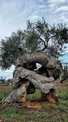 Science Discover I don& know if this olive tree is ancient but it is old and cool. Weird Trees Twisted Tree Unique Trees Old Trees Tree Trunks Nature Tree Tree Forest Olive Tree Tree Art Weird Trees, Twisted Tree, Unique Trees, Old Trees, Nature Tree, Tree Forest, Belleza Natural, Tree Art, Natural Wonders